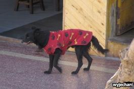 03 najnowszy krzyk mody wsrod peruwianskich psow