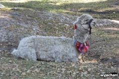A tymczasem w parku... zwyczajna lama