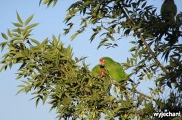 I to nie jedna papuga, ale całe hałaśliwe stadko przelatujące skądś dokądś w poszukiwaniu czegoś