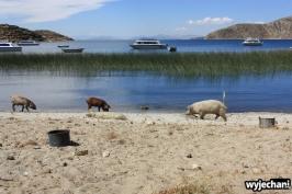 04 Isla del Sol, swinie na plazy