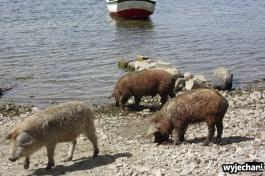07 Isla del Sol, swinie na plazy