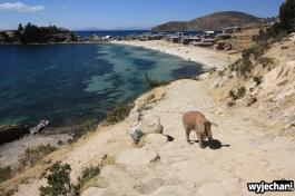 08 Isla del Sol, swinia wraca z plazy
