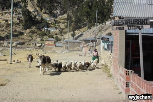 09 Isla del Sol, owce ida na plaze
