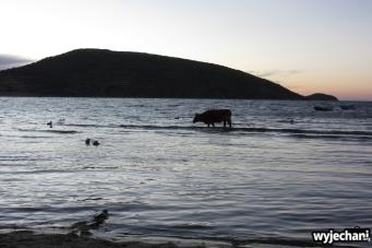 15 Isla del Sol, krowa o zmierzchu brodzaca w jeziorze