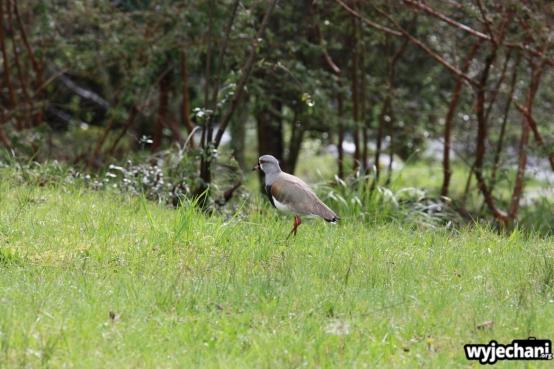 10 Villarrica ptaszek