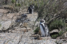 02 Cabo Virgenes - pingwiny