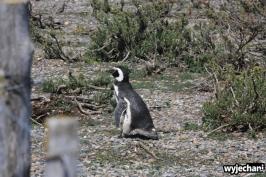 04 Cabo Virgenes - pingwiny