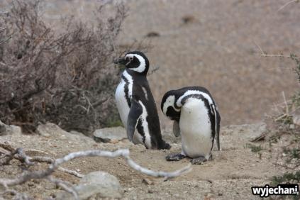 05 PN Monte Leon - pingwiny