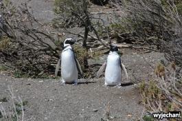 06 Cabo Virgenes - pingwiny