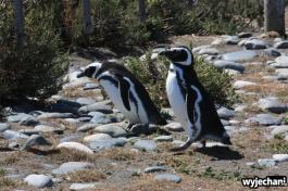 07 Cabo Virgenes - pingwiny