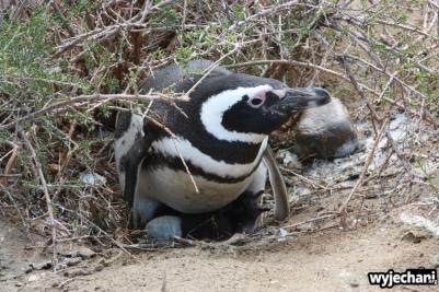 07 PN Monte Leon - pingwiny