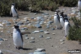 08 Cabo Virgenes - pingwiny