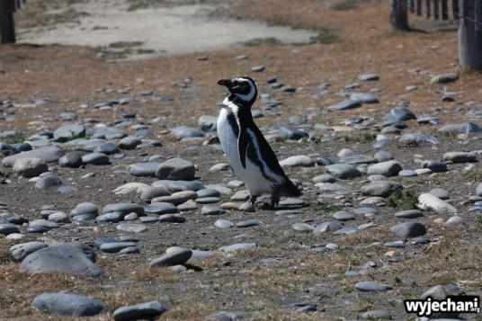 09 Cabo Virgenes - pingwiny