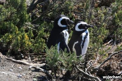 10 Cabo Virgenes - pingwiny