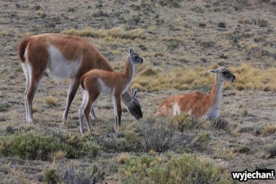10 PN Monte Leon - guanaco