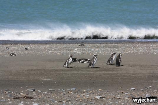 12 Cabo Virgenes - pingwiny