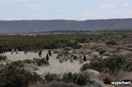 13 Cabo Virgenes - pingwiny
