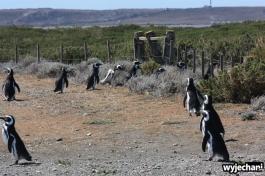 14 Cabo Virgenes - pingwiny