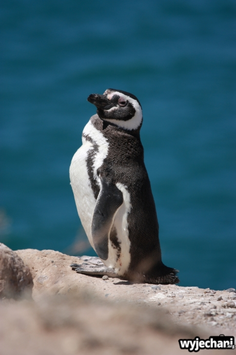 11 Polwysep Valdes - pingwin