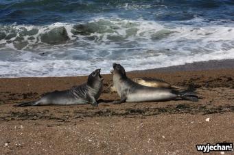12 Polwysep Valdes - Slonie morskie