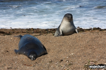 13 Polwysep Valdes - Slonie morskie