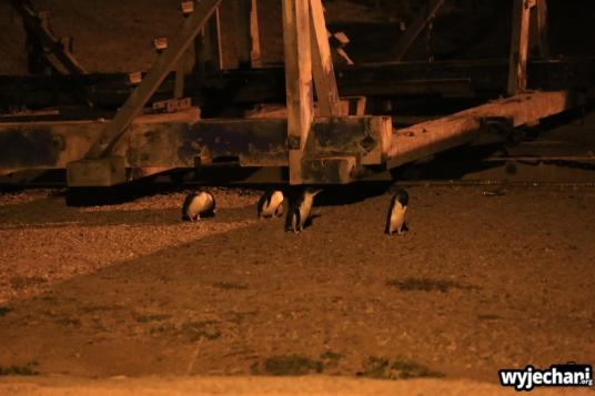 01 Pingwiny niebieskie