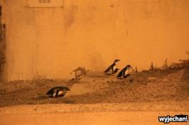 02 Pingwiny niebieskie