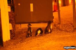03 Pingwiny niebieskie