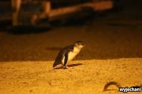 04 Pingwiny niebieskie