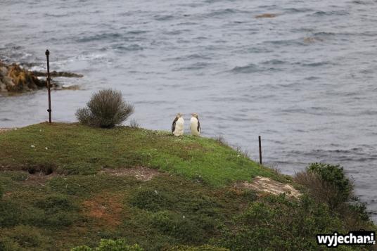 05 Pingwiny - Katiki Point