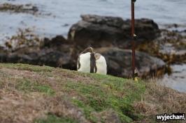 08 Pingwiny - Katiki Point
