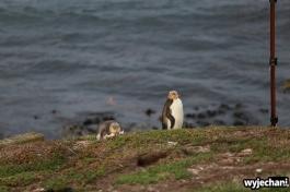 10 Pingwiny - Katiki Point