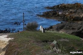 14 Pingwiny - Katiki Point