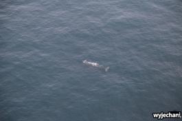 04 Kaikoura - wieloryb