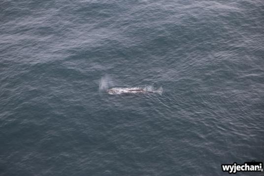06 Kaikoura - wieloryb