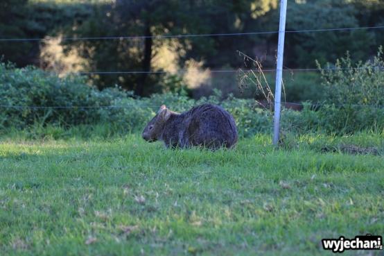 01 zwierz - Bendeela- wombat