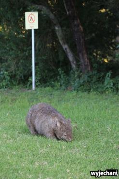 02 zwierz - Bendeela- wombat