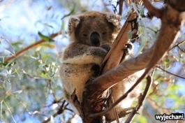05 zwierz - Raymond Island - koala