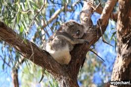 06 zwierz - Raymond Island - koala
