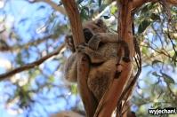 07 zwierz - Raymond Island - koala