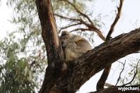 08 zwierz - Raymond Island - koala