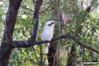 09 zwierz - Raymond Island - kukabara