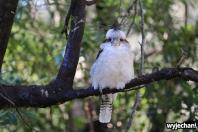 10 zwierz - Raymond Island - kukabara