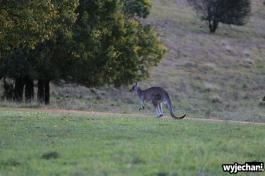 12 zwierz - Angusvale - kangury