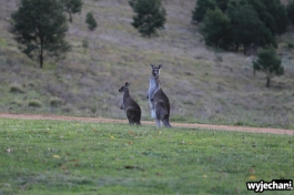 13 zwierz - Angusvale - kangury