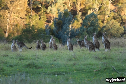 14 zwierz - Angusvale - kangury