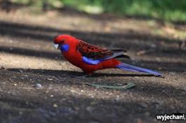 03 zwierz - GOR - papuga