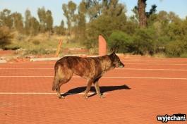 04 zwierz - Outback - dingo