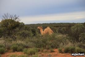 05 zwierz - Outback - wielblad