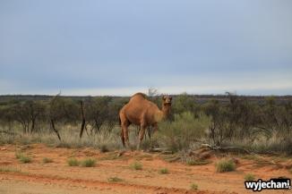 06 zwierz - Outback - wielblad